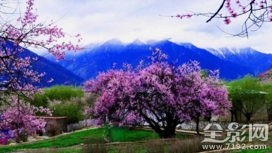 雪域高原小江南-西藏林芝桃花源