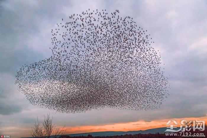 mc fayden在柯尔库布里附近拍到一系列椋鸟起飞的奇观,有的像爱心,有