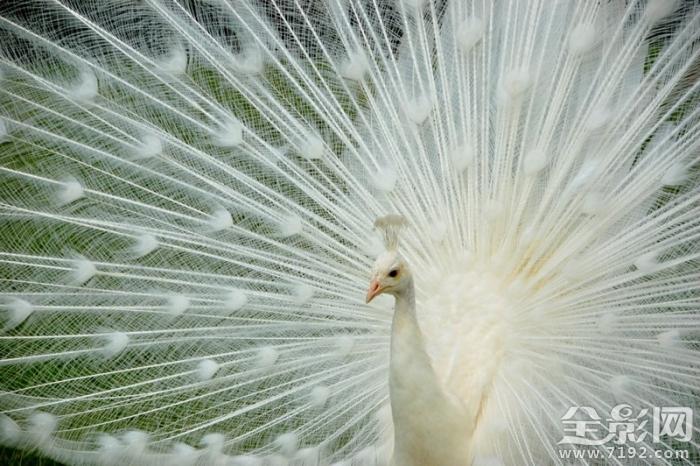 美丽夺目的孔雀开屏