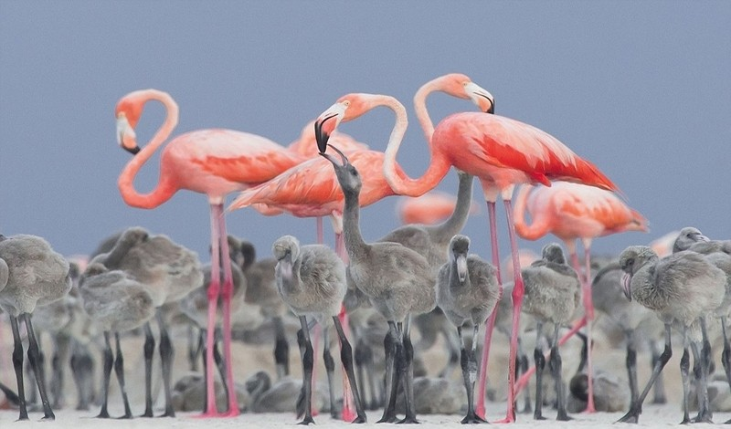 2017年鸟类摄影大赛:粉色火烈鸟喂食雏鸟夺冠