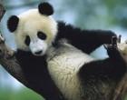 大熊猫国家公园